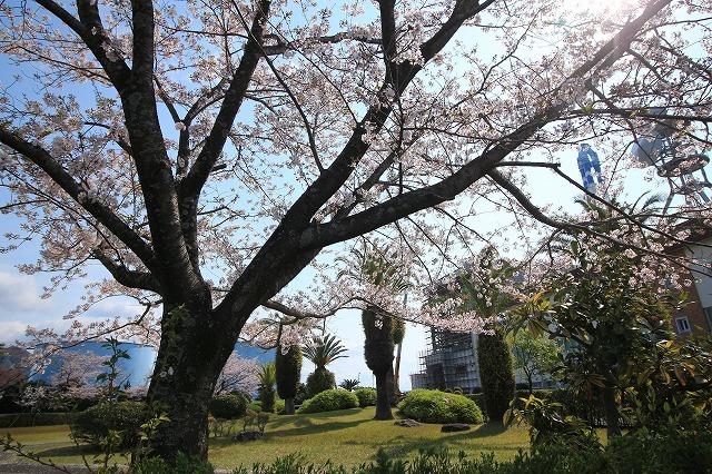 桜咲く尾鷲三田工事所 庭園散歩(その1)(撮影:4月10日)_e0321325_15212868.jpg