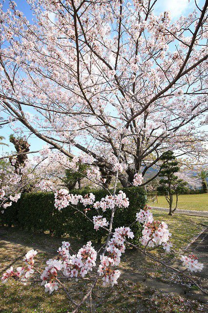 桜咲く尾鷲三田工事所 庭園散歩(その1)(撮影:4月10日)_e0321325_15232101.jpg