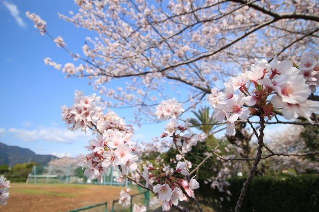 桜咲く尾鷲三田工事所 庭園散歩(その1)(撮影:4月10日)_e0321325_15233533.jpg