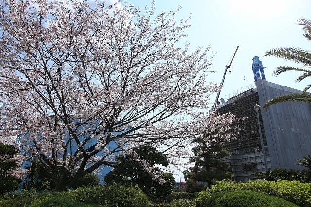 桜咲く尾鷲三田工事所 庭園散歩(その1)(撮影:4月10日)_e0321325_15240131.jpg