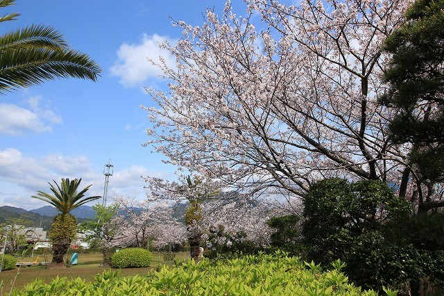 桜咲く尾鷲三田工事所 庭園散歩(その1)(撮影:4月10日)_e0321325_15241447.jpg