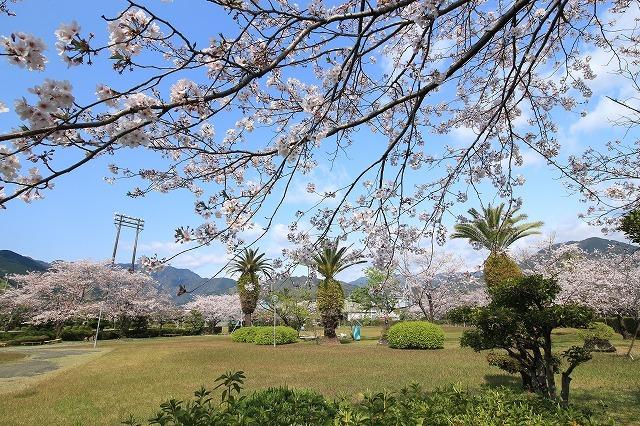桜咲く尾鷲三田工事所 庭園散歩(その1)(撮影:4月10日)_e0321325_15242828.jpg