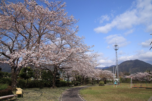 桜咲く尾鷲三田工事所 庭園散歩(その2)(撮影:4月10日)_e0321325_16520835.jpg