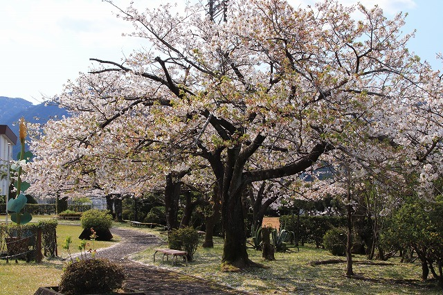 桜咲く尾鷲三田工事所 庭園散歩(その2)(撮影:4月10日)_e0321325_16522308.jpg