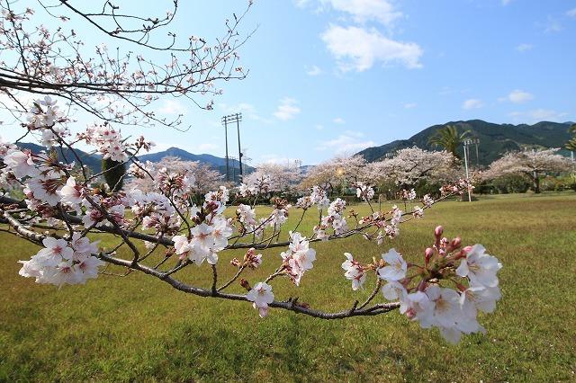桜咲く尾鷲三田工事所 庭園散歩(その2)(撮影:4月10日)_e0321325_16531752.jpg