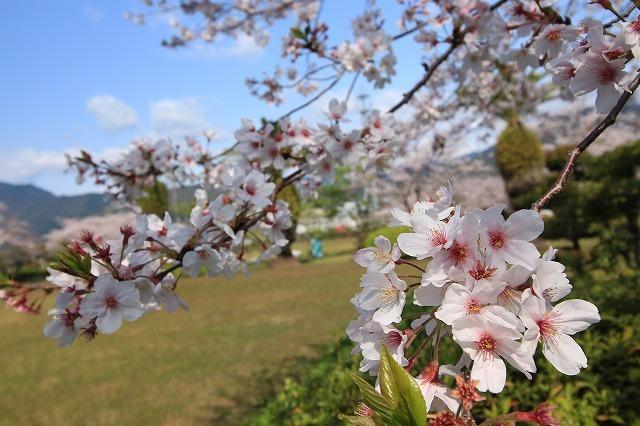 桜咲く尾鷲三田工事所 庭園散歩(その2)(撮影:4月10日)_e0321325_16533196.jpg