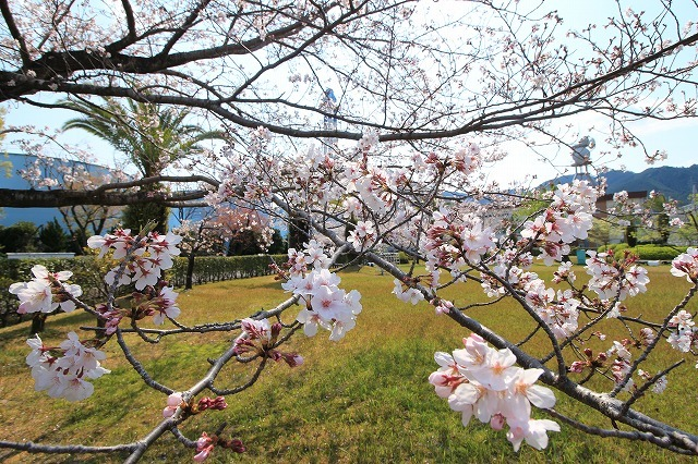 桜咲く尾鷲三田工事所 庭園散歩(その2)(撮影:4月10日)_e0321325_16534377.jpg