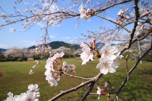 桜咲く尾鷲三田工事所 庭園散歩(その2)(撮影:4月10日)_e0321325_16535744.jpg
