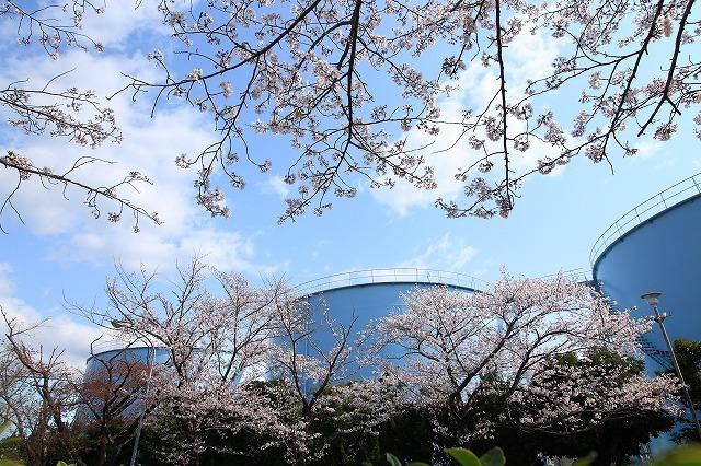桜咲く尾鷲三田工事所 庭園散歩(その2)(撮影:4月10日)_e0321325_16540958.jpg