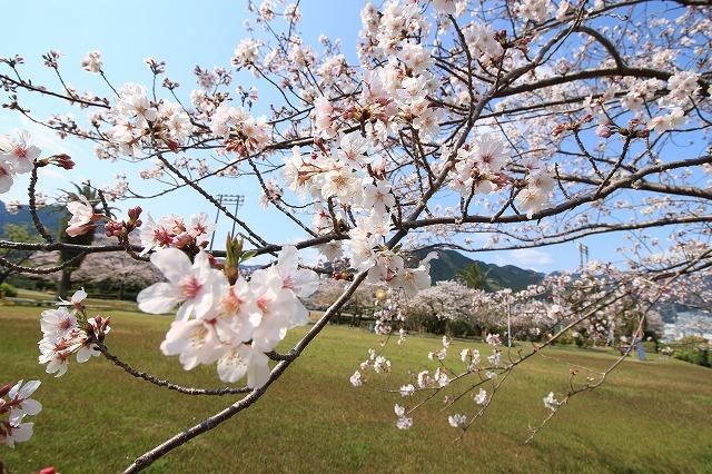 桜咲く尾鷲三田工事所 庭園散歩(その2)(撮影:4月10日)_e0321325_16542218.jpg