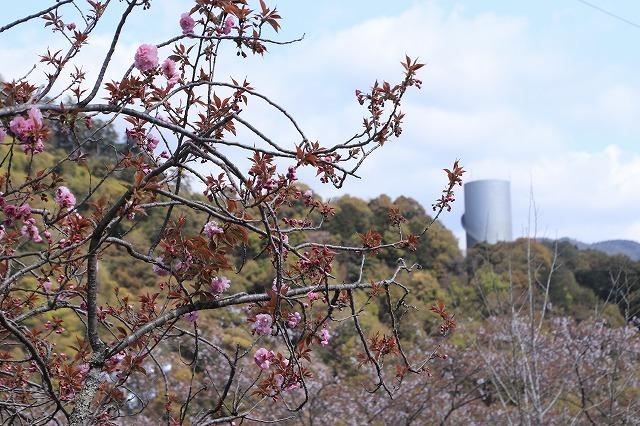 咲き誇るボタン桜(撮影:4月8日)_e0321325_19341571.jpg