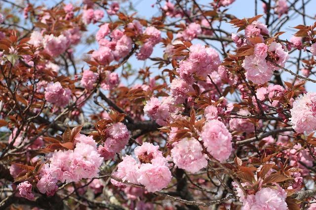 咲き誇るボタン桜(撮影:4月8日)_e0321325_19343079.jpg