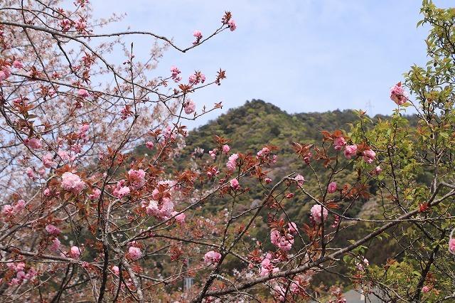咲き誇るボタン桜(撮影:4月8日)_e0321325_19344343.jpg