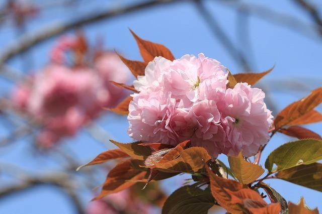 咲き誇るボタン桜(撮影:4月8日)_e0321325_19345758.jpg