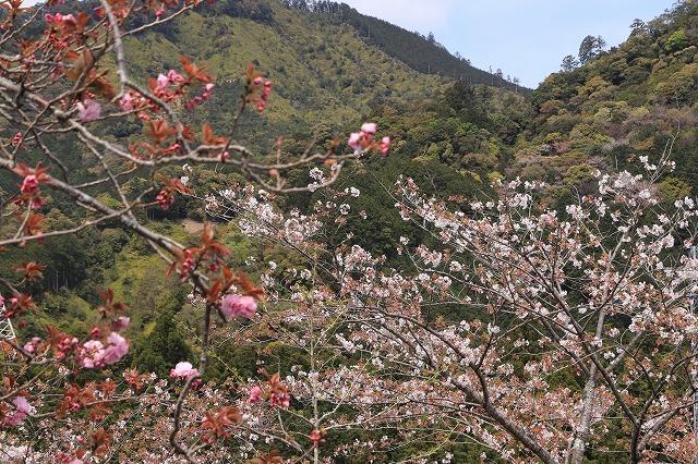 咲き誇るボタン桜(撮影:4月8日)_e0321325_19351686.jpg