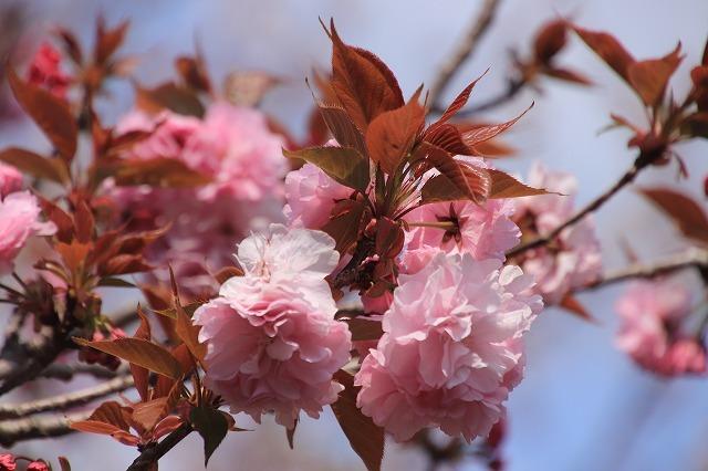 咲き誇るボタン桜(撮影:4月8日)_e0321325_19353136.jpg