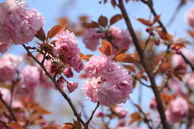 咲き誇るボタン桜(撮影:4月8日)_e0321325_19354550.jpg