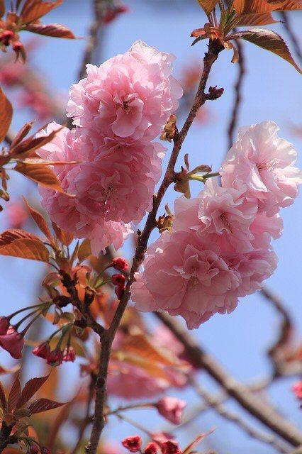咲き誇るボタン桜(撮影:4月8日)_e0321325_19355867.jpg