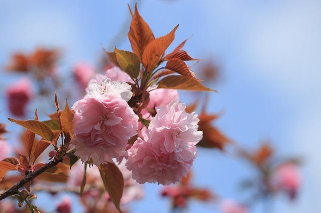 咲き誇るボタン桜(撮影:4月8日)_e0321325_19361101.jpg