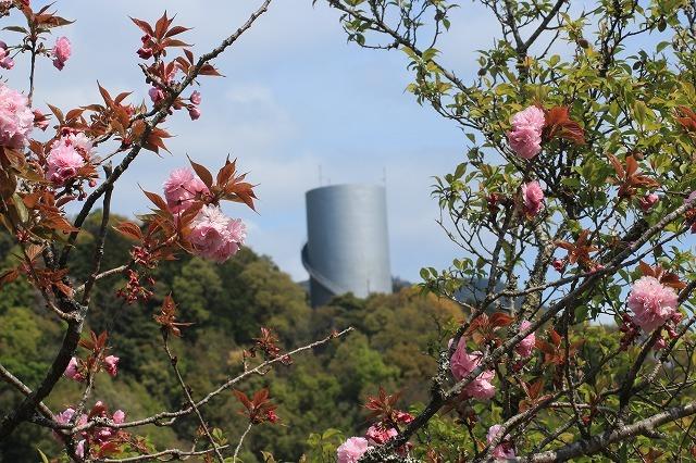 咲き誇るボタン桜(撮影:4月8日)_e0321325_19362625.jpg