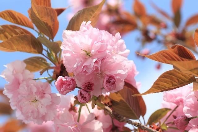 咲き誇るボタン桜(撮影:4月8日)_e0321325_19363764.jpg