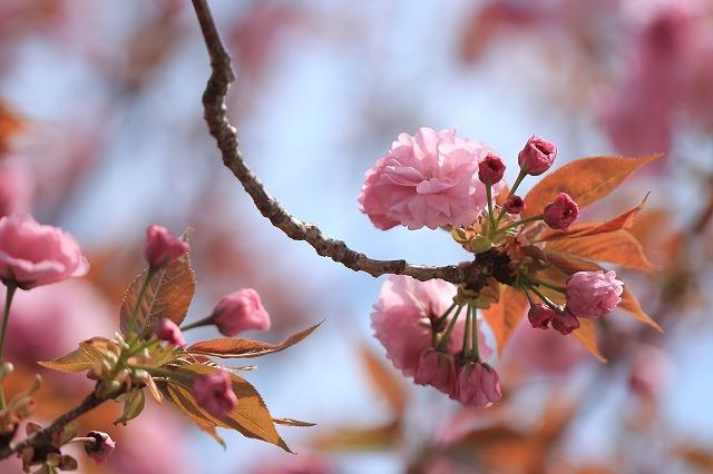 咲き誇るボタン桜(撮影:4月8日)_e0321325_19365091.jpg