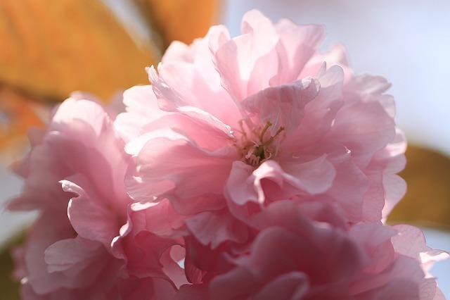 咲き誇るボタン桜(撮影:4月8日)_e0321325_19370507.jpg