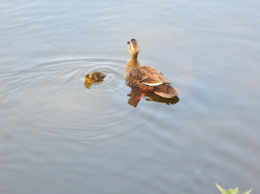 ある風景:Kikuna pond, Yokohama@May_c0395834_22345143.jpg