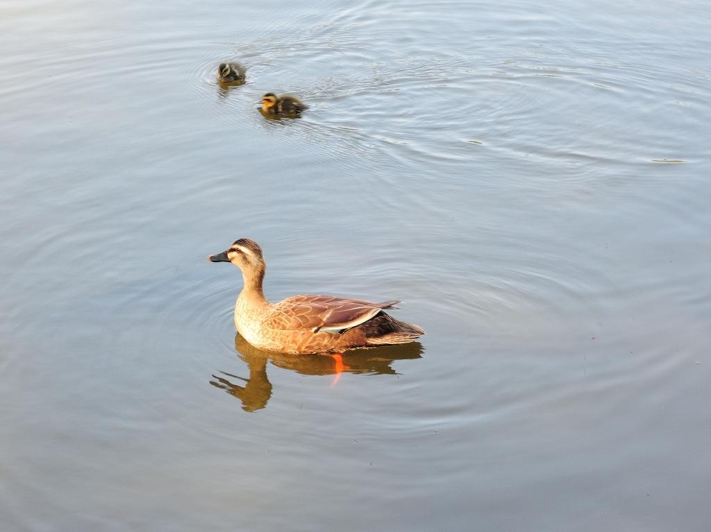 ある風景:Kikuna pond, Yokohama@May_c0395834_22345152.jpg