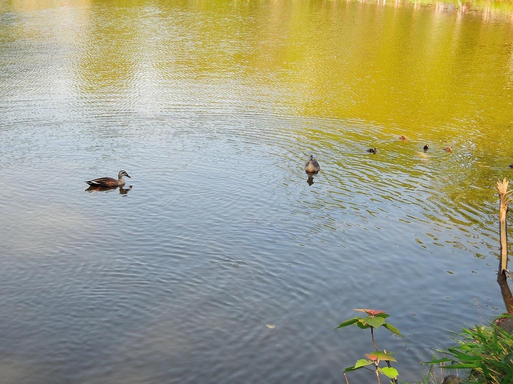 ある風景:Kikuna pond, Yokohama@May_c0395834_22345246.jpg
