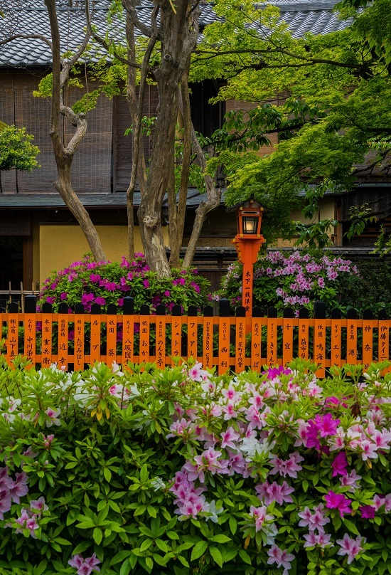 祇園白川のツツジ_e0363038_19313705.jpg