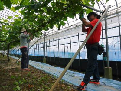 熊本ぶどう 社方園 今年(2020年)は例年以上の大粒に仕上げるべく摘粒作業が行われています(後編)_a0254656_17134896.jpg