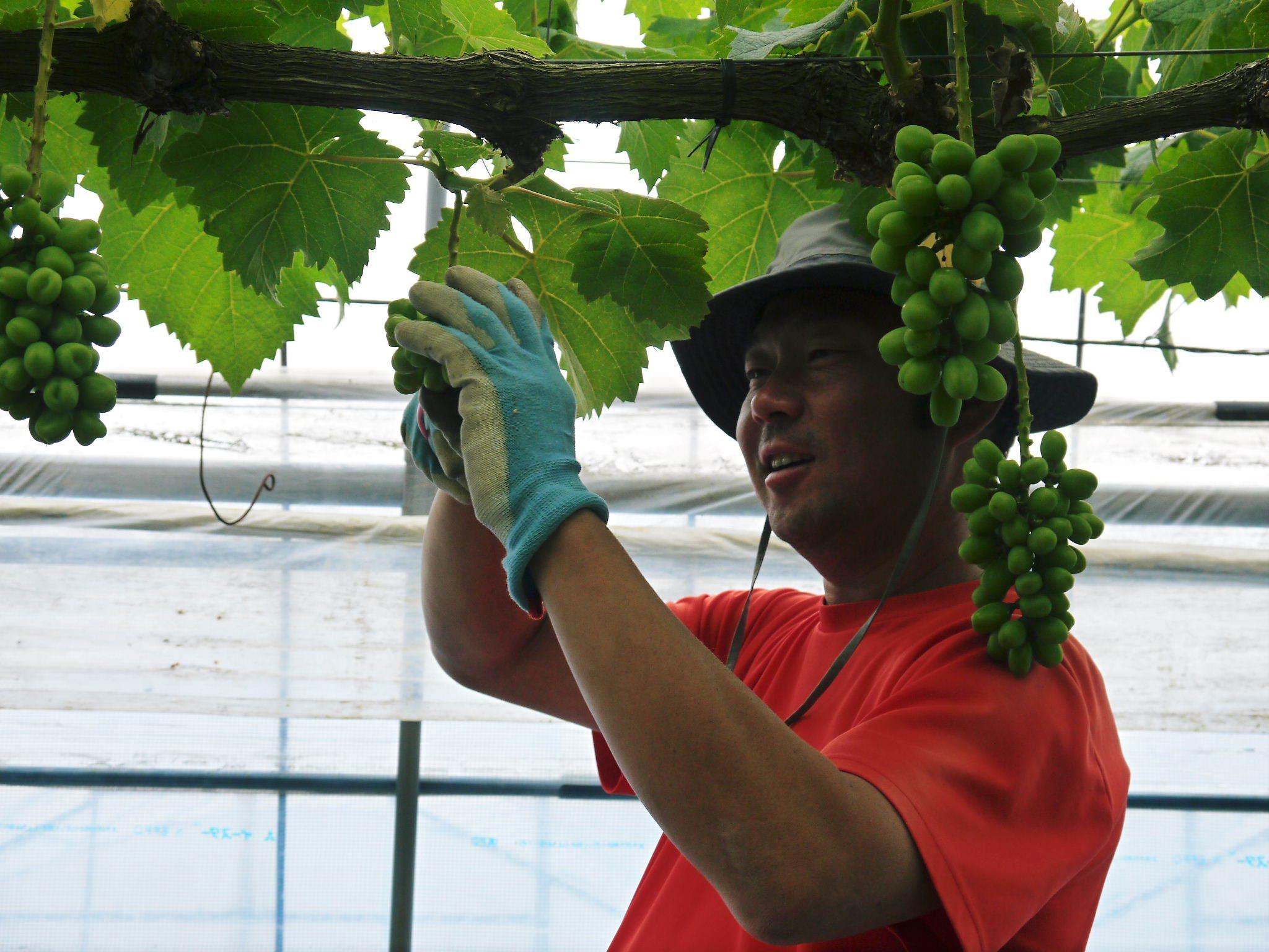 熊本ぶどう 社方園 今年(2020年)は例年以上の大粒に仕上げるべく摘粒作業が行われています(後編)_a0254656_17292465.jpg