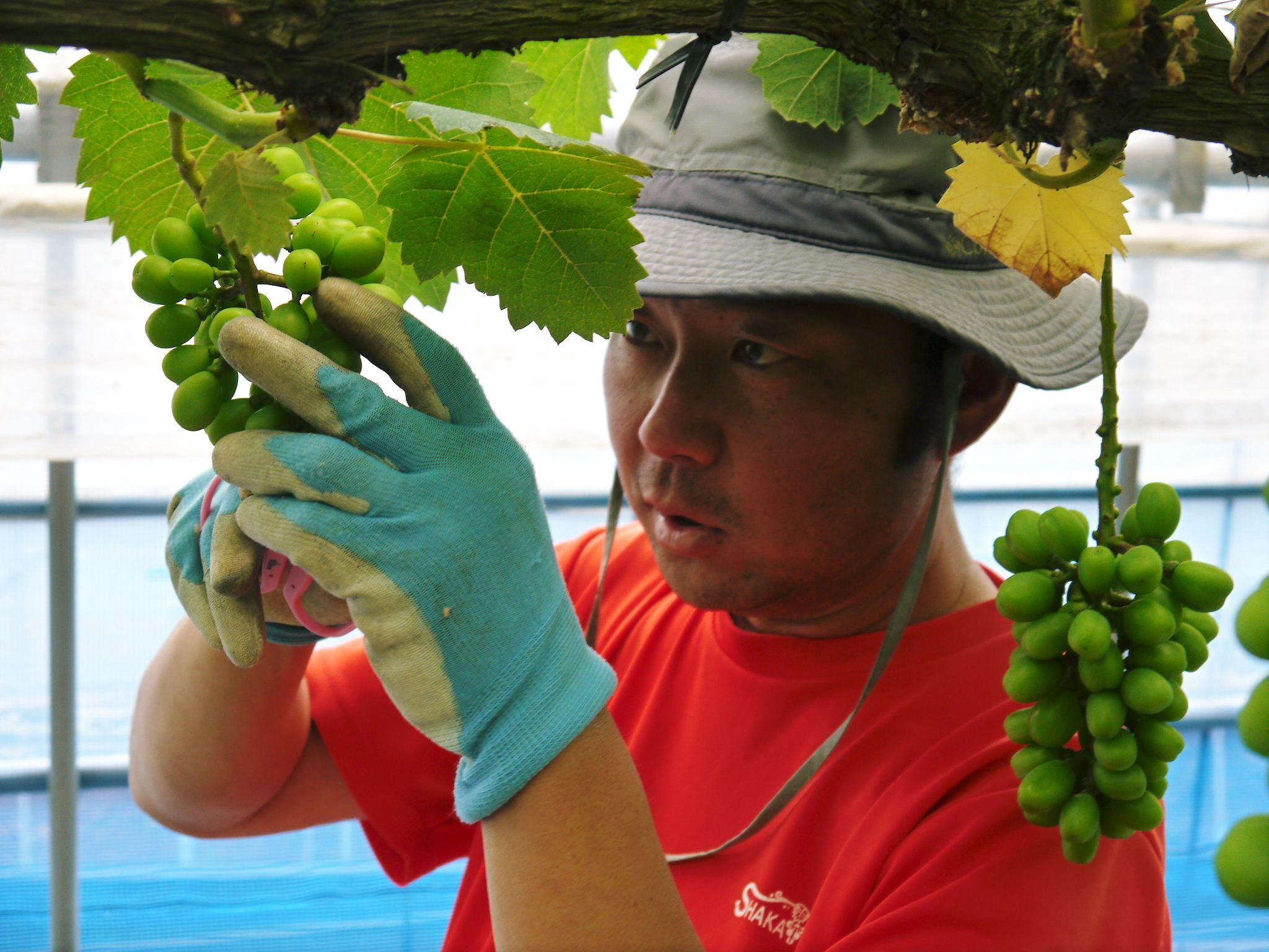 熊本ぶどう 社方園 今年(2020年)は例年以上の大粒に仕上げるべく摘粒作業が行われています(後編)_a0254656_17465130.jpg