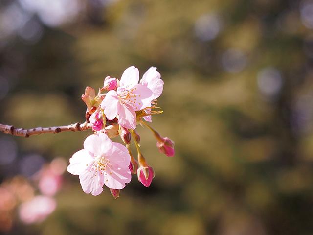 河津桜_d0251171_13363932.jpg