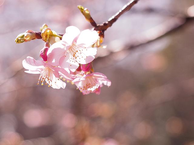 河津桜_d0251171_13371969.jpg