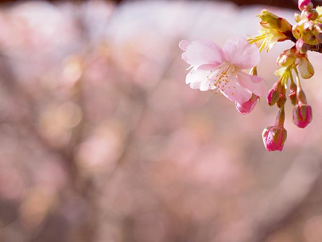 河津桜_d0251171_13373678.jpg