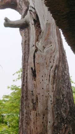 赤松老木の伐採😥😪_f0168873_15424377.jpg