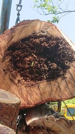 赤松老木の伐採😥😪_f0168873_15425730.jpg