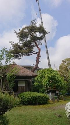 赤松老木の伐採😥😪_f0168873_15431399.jpg