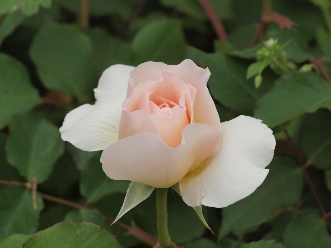 『薔薇の思い出・・・♪』_d0054276_2023275.jpg