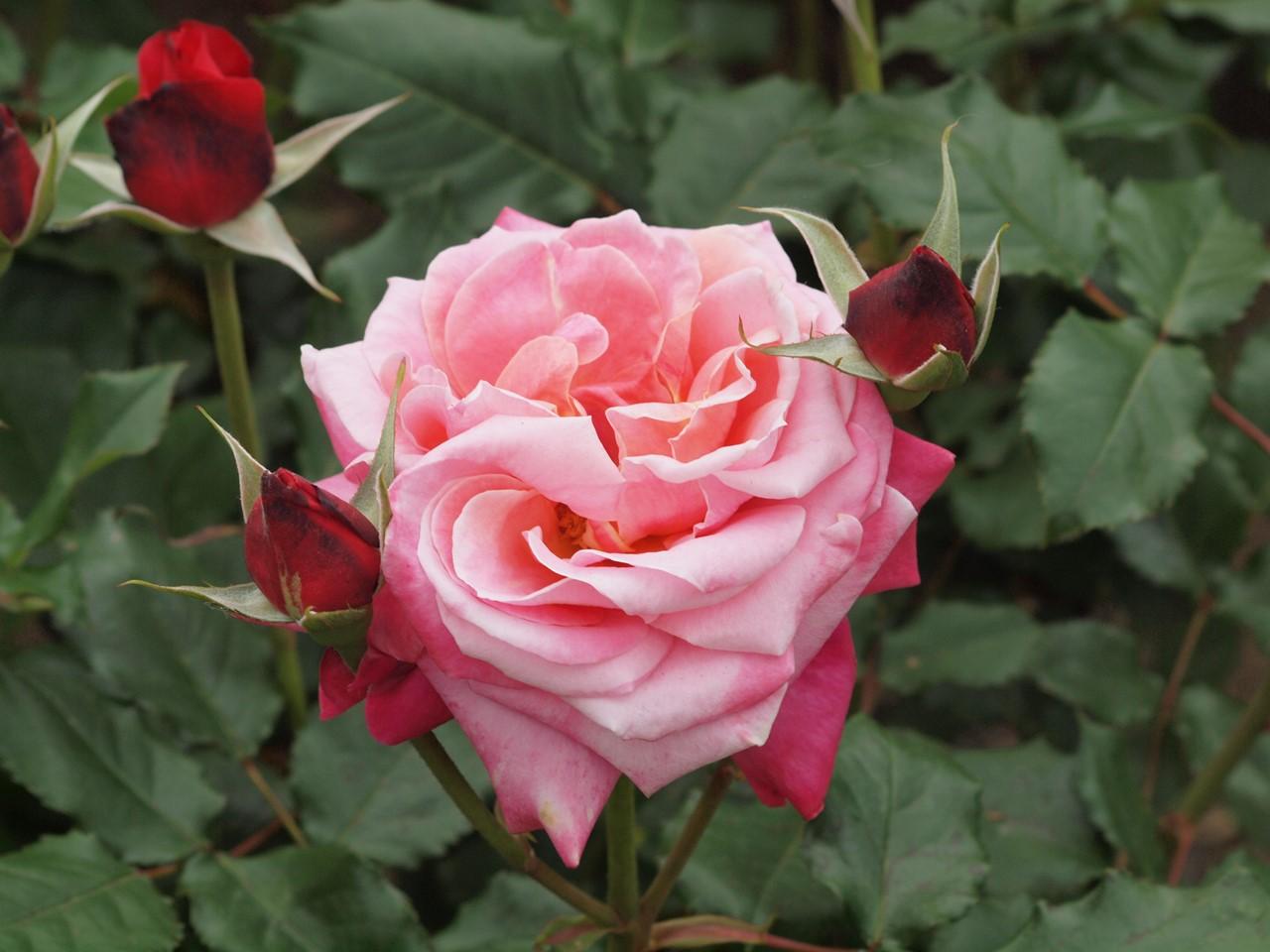 『薔薇の思い出・・・♪』_d0054276_20233932.jpg
