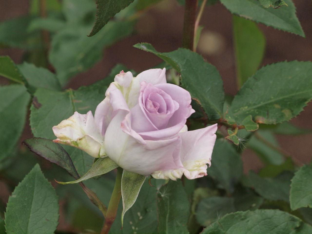 『薔薇の思い出・・・♪』_d0054276_20235251.jpg