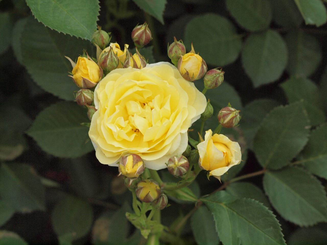 『薔薇の思い出・・・♪』_d0054276_2024188.jpg