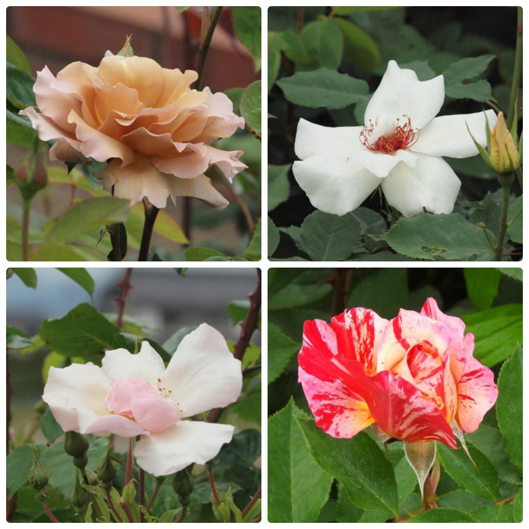 『薔薇の思い出・・・♪』_d0054276_20243216.jpg