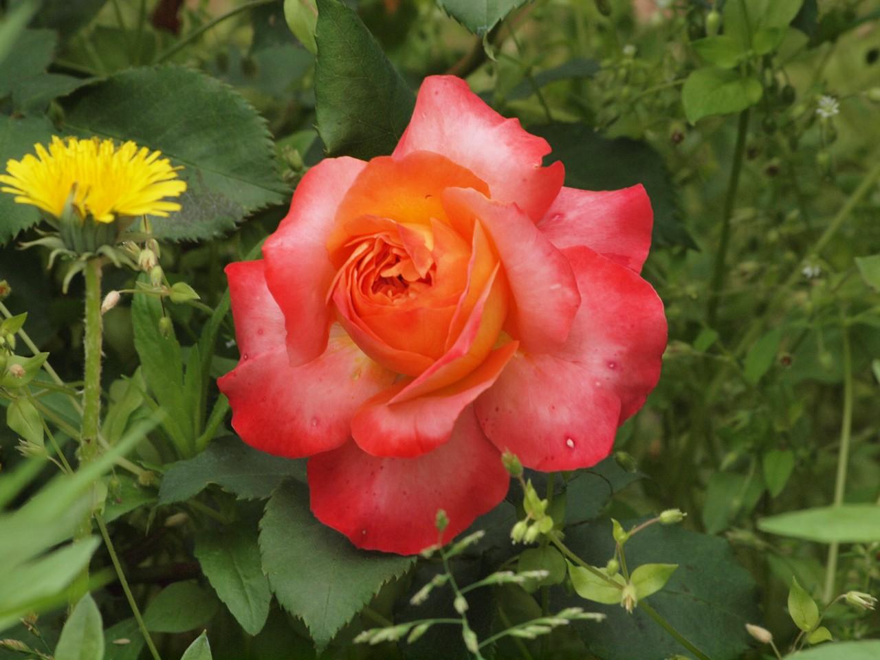 『薔薇の思い出・・・♪』_d0054276_2024597.jpg