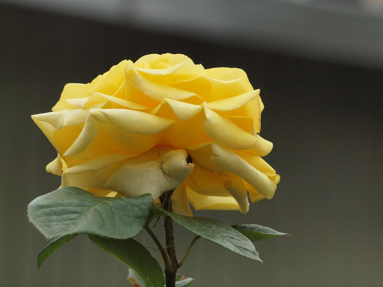 『薔薇の思い出・・・♪』_d0054276_20252457.jpg