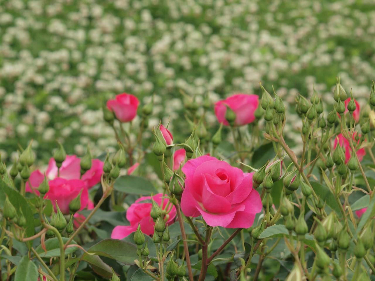 『薔薇の思い出・・・♪』_d0054276_20253762.jpg