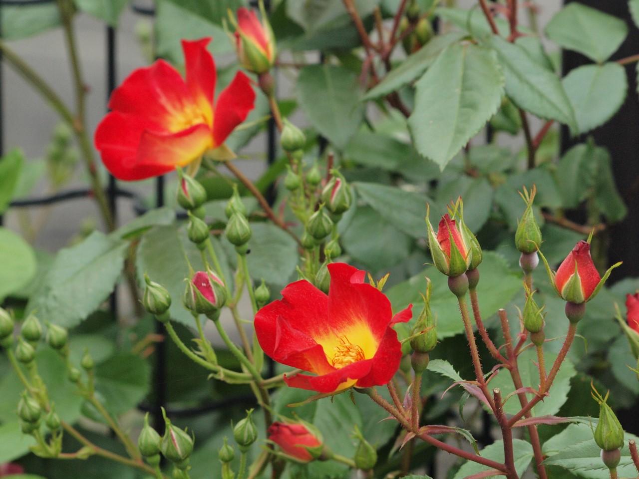 『薔薇の思い出・・・♪』_d0054276_20255180.jpg