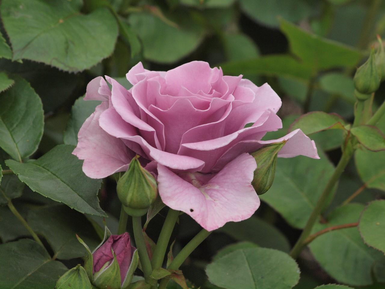 『薔薇の思い出・・・♪』_d0054276_20261984.jpg